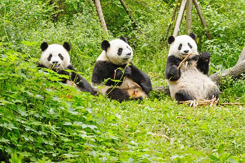 China_Chengdu_Pandas_shutterstock_378926674.png