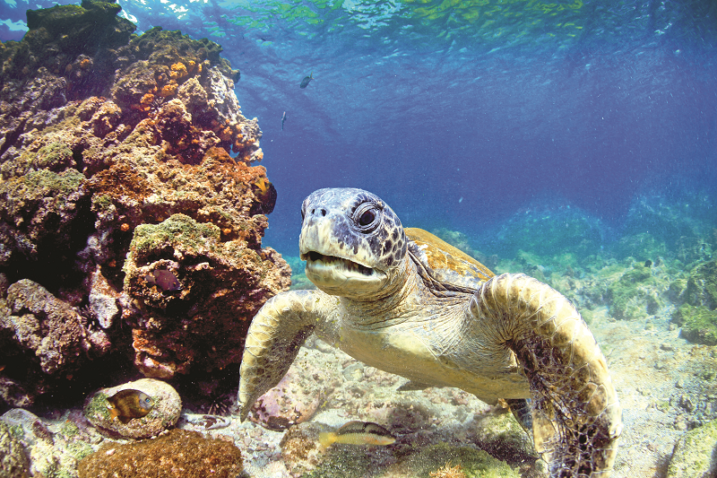 EC_Galapagos_Sea_Turtle_shutterstock_152041847.png